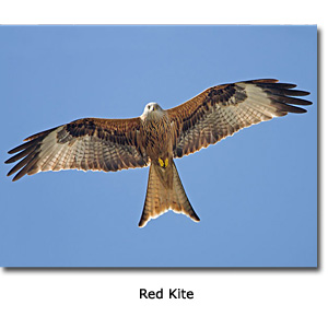 Red Kite Conservation