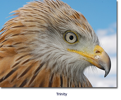 Red Kite Conservation Trinity