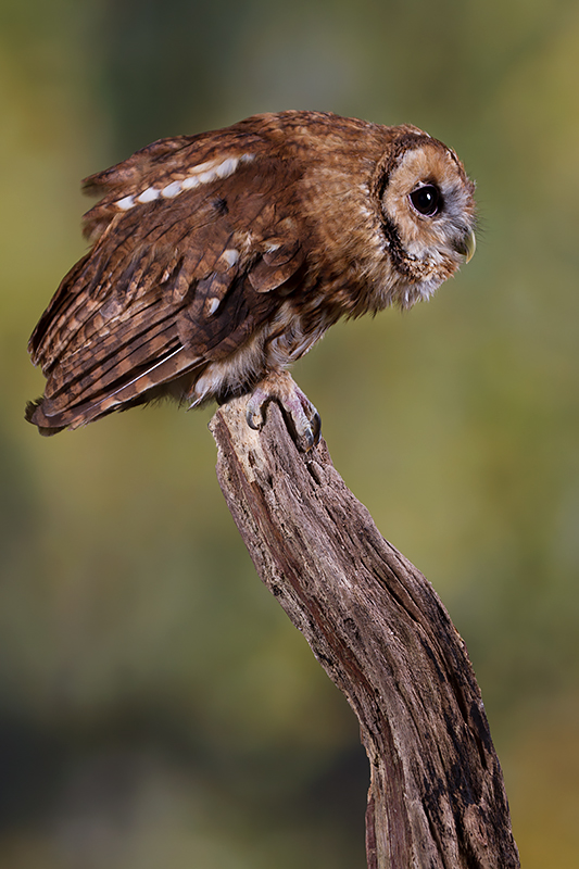 "Tawny Owl on a ""natural"" background"