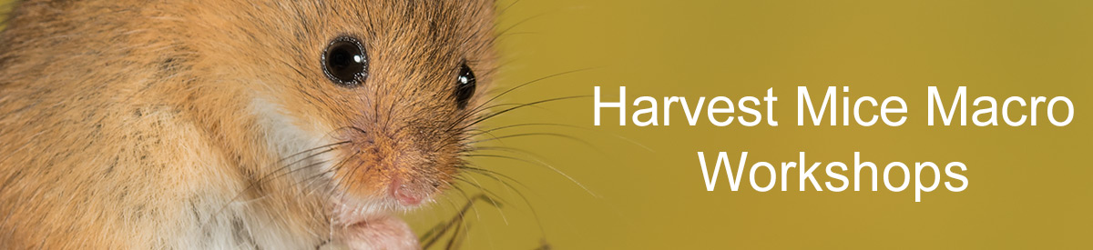 Harvest Mice Photography Workshop