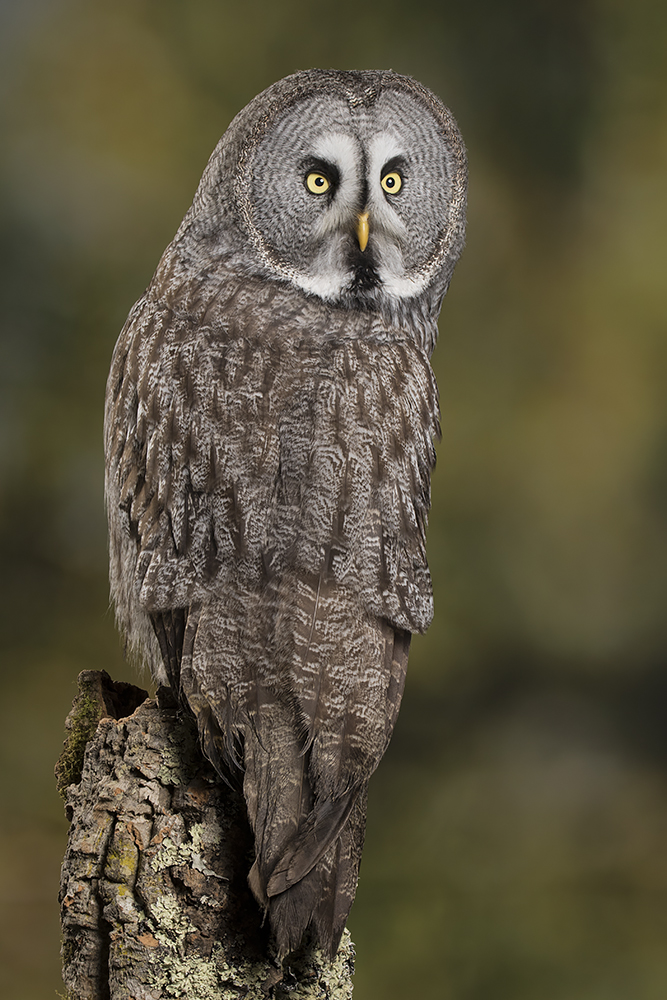 great gray owl facts - 667×1000